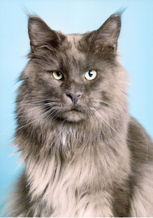 Maine Coon, Blue Solid (a). IP. Catdancer MC's Blue Moonshadow. Photo by http://www.tierfoto.de