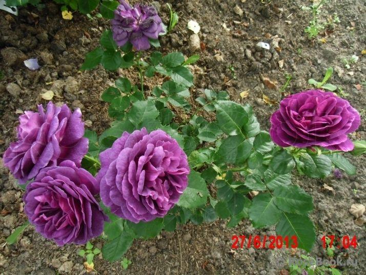 роза minerva: 20 тыс изображений найдено в Яндекс.Картинках
