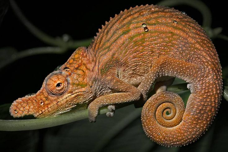 With vibrant patterns, funky crests and long noses, these are among the funniest-looking of all chameleons. But they sure are cute!