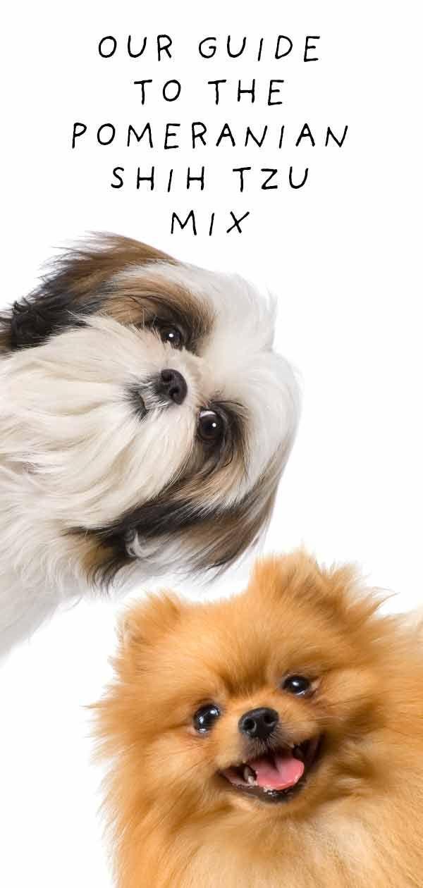 Pomeranian Shih Tzu Mix Meet The Shiranian In 2020 Shih Tzu Mix Shih Tzu Pomeranian Mix Puppies