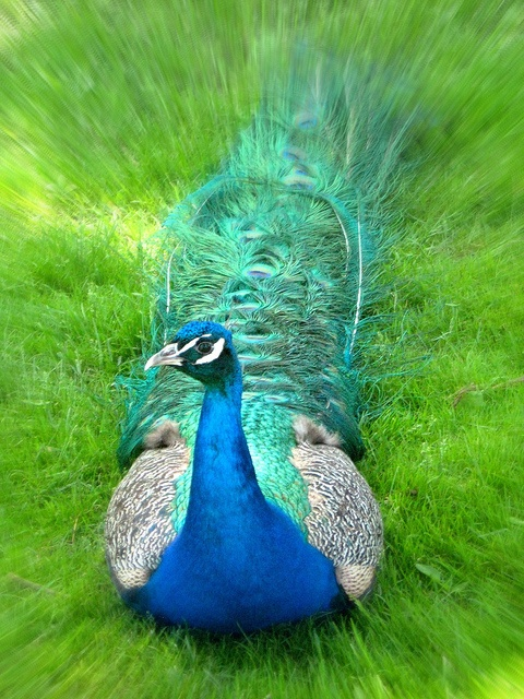 peacocks Predators -- such as stray dogs, tigers, leopards and mongooses -- can easily spot the colorful plumage of a peacock. The bird, however, can make a quick getaway, because a peacock's feathers simply dislodge from his body when met with resistance,