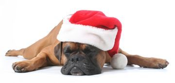 Xmas Dog Photo:  This Photo was uploaded by donnagreenuk. Find other Xmas Dog pictures and photos or upload your own with Photobucket free image and vide...
