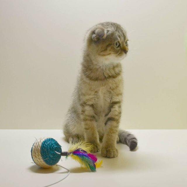 Сынок Алекса  #фолдландия #шотландские #котята #купитькотенка #фолд #страйт #продажа #питомиц #кот #кошка #кошки #猫 #小猫 #卖 #사기 #판매 #고양이 #cat #cats #kitten #kitty #pet #luxury #catstagram #instagood #mimimi #scottish #avaliable #sale #foldlandiabenabycats2016/02/17 06:00:05