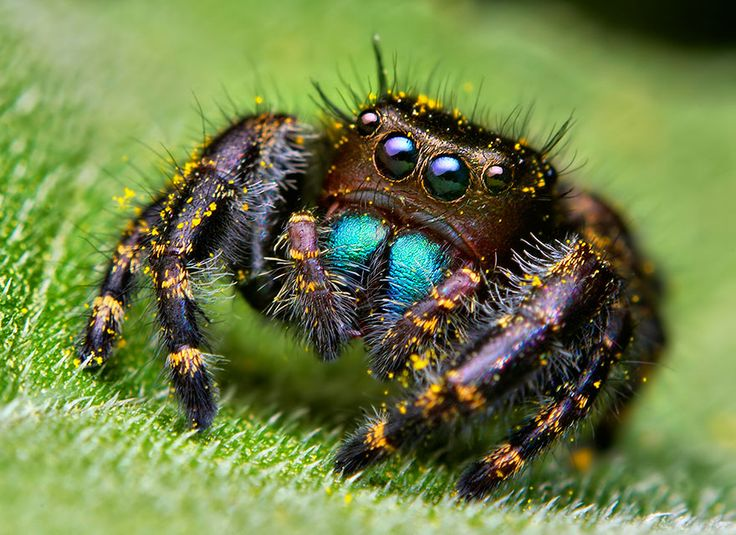 Immature phidippus audax jumping spider by Thomas Shahan  .... Jumping spiders have the best eyesight among spiders