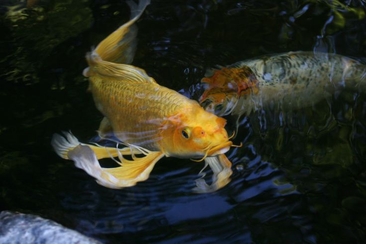 63 best pond fish images on pinterest for Koi fish pond maintenance