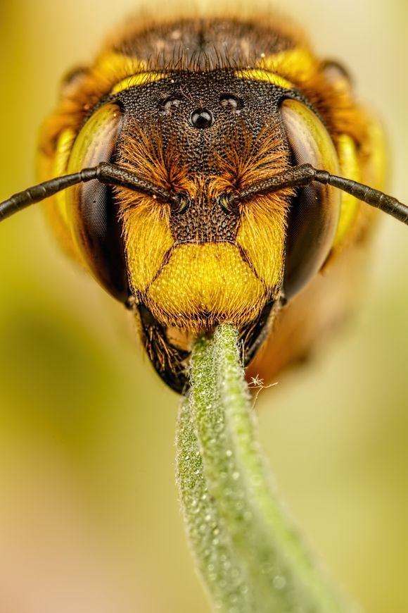 European Wool Carder Bee IV
