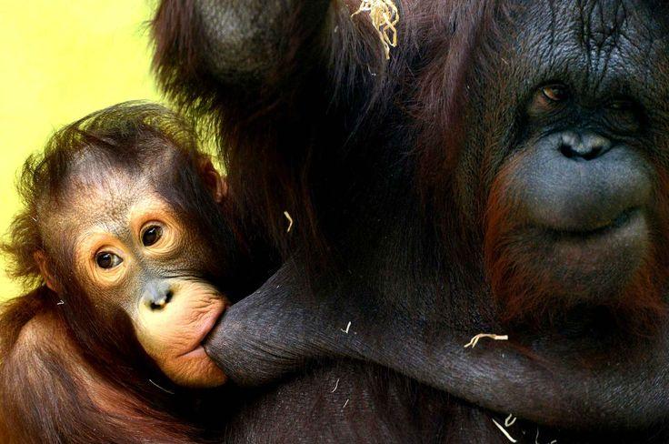 Cantik, un bébé orang-outan, et sa maman Nuninka au zoo deUsti nad Labem en République tchèque.