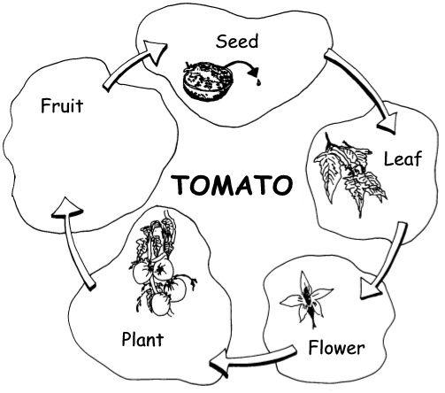 tomato plant diagram tomato plant diagram