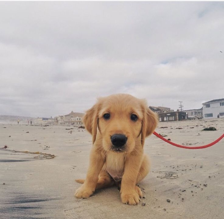 Best Golden Retriever Images On Pinterest Big Dogs Golden - 25 photos that prove golden retrievers are the cutest puppies