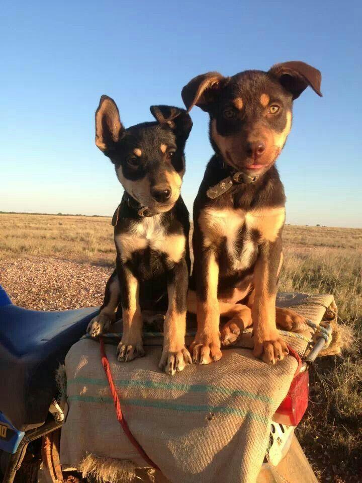 Cute Kelpie pups