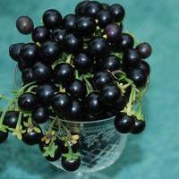 Wonderberry | Övriga grönsaker | Grönsaker | Jennys frön och sånt