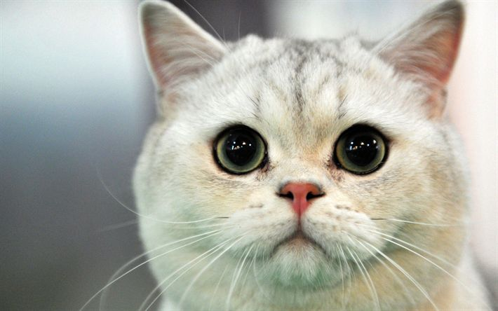 Download wallpapers British Shorthair, cats, cute animals, muzzle, funny cat
