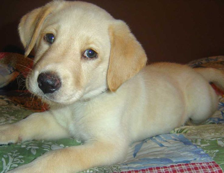 yellow lab puppies with blue eyes Quotes
