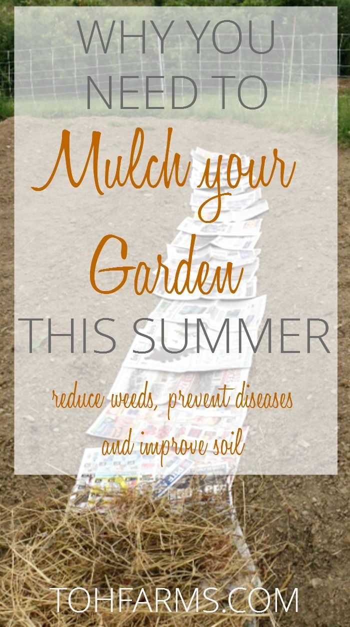 Use newspaper and grass or straw to mulch in between your vegetable garden and reduce weeds and diseases. Plus improve the health of your soil!