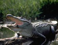 Stop Plans to Hunt Alligators in Protected Sanctuary