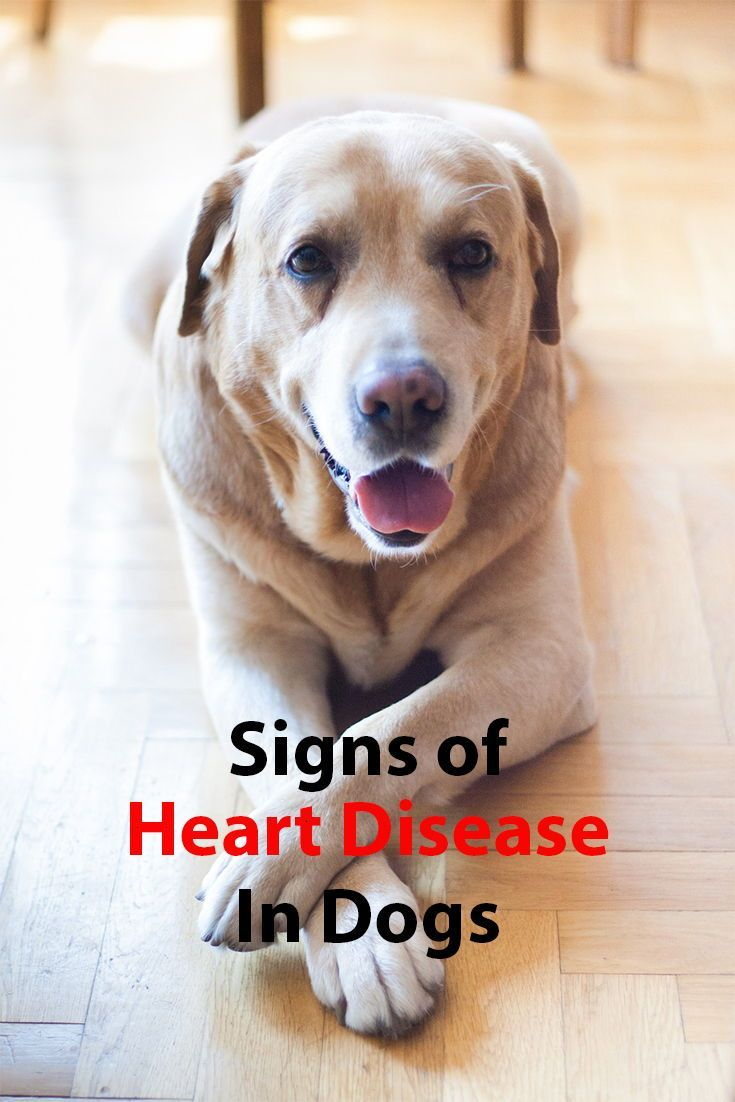 Signs Of Heart Disease In Dogs With Images Dogs Labrador