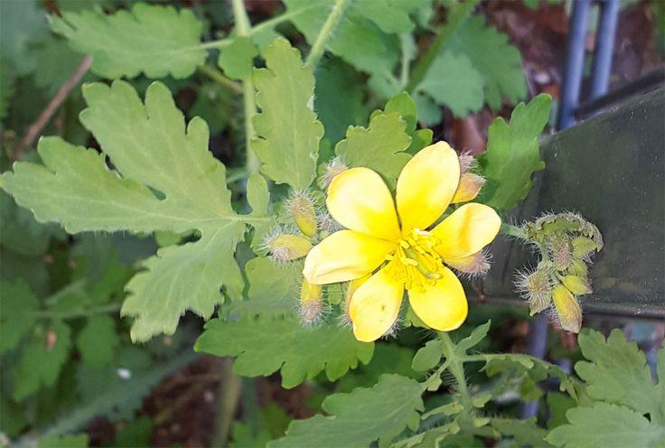 Das Schöllkraut (Chelidonium majus) zeigt sich von Frühjahr bis zum Spätsommer mit seinen prachtvollen gelben Blüten. Der orangene Saft in den Blättern und Stengeln wird naturheilkundlich gegen Warzen verwendet.