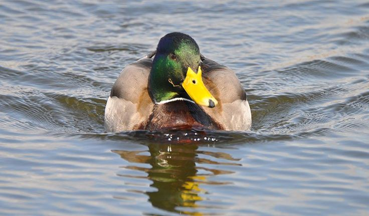 RESEARCHERS HAVE A QUACKY IDEA: REPLACE CAR HORNS WITH DUCK SOUNDS