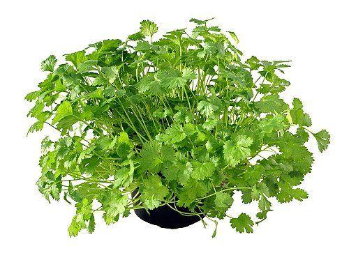 How To Grow Cilantro / Coriander | Herb Gardening Guide