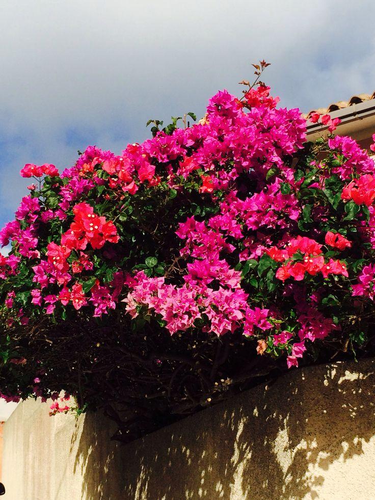 Buganvillea A La Maddalena, Sardinia Italy