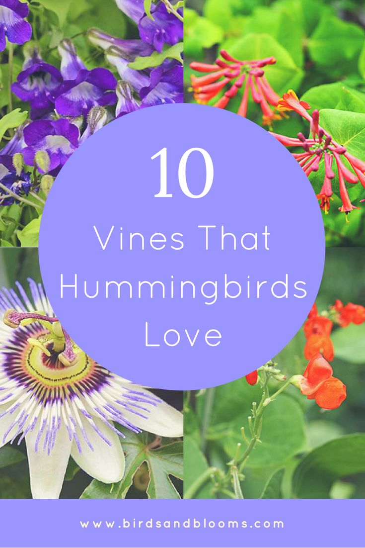10 Vines That Hummingbirds Love