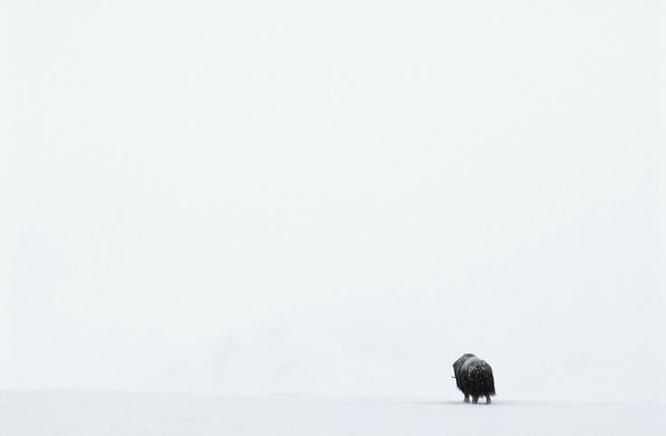 Ovibo | Vincent Munier