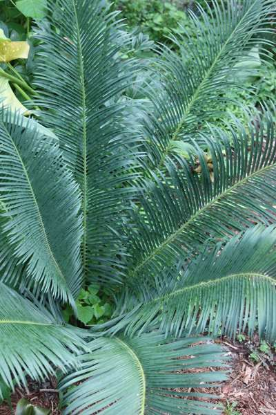 panzihua sago palm for sale buy cycas panzhihuaensis tropical garden inspiration pinterest. Black Bedroom Furniture Sets. Home Design Ideas