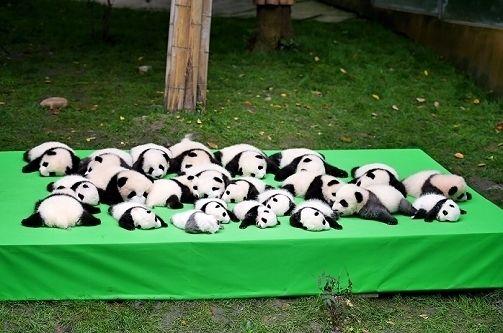 【写真特集】2016年生まれの赤ちゃんパンダを披露 中国・成都の繁殖施設