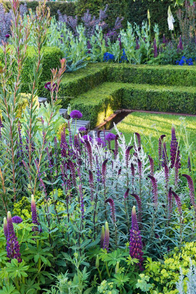 Lysimachia atropurpurea 'Beaujolais', Lupinus masterpiece; Leucadendron 'Safari Sunset' in formal garden