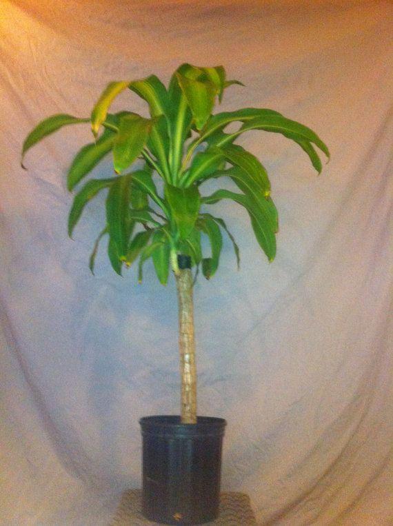 Corn Plant Dracaena Fragrans Live Tropical 2 By