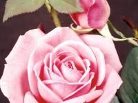 Roses: Planting, Growing, and Caring for Rose Plants   The Old Farmer's Almanac