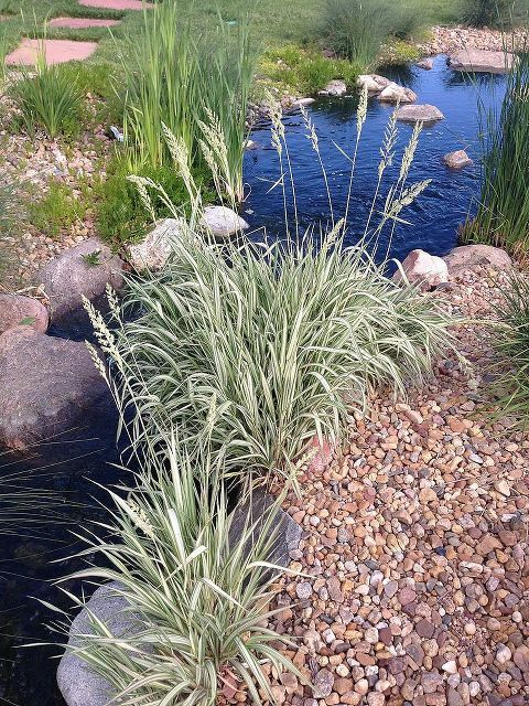 57 best images about grasses on pinterest gardens sun for Pond grass plants