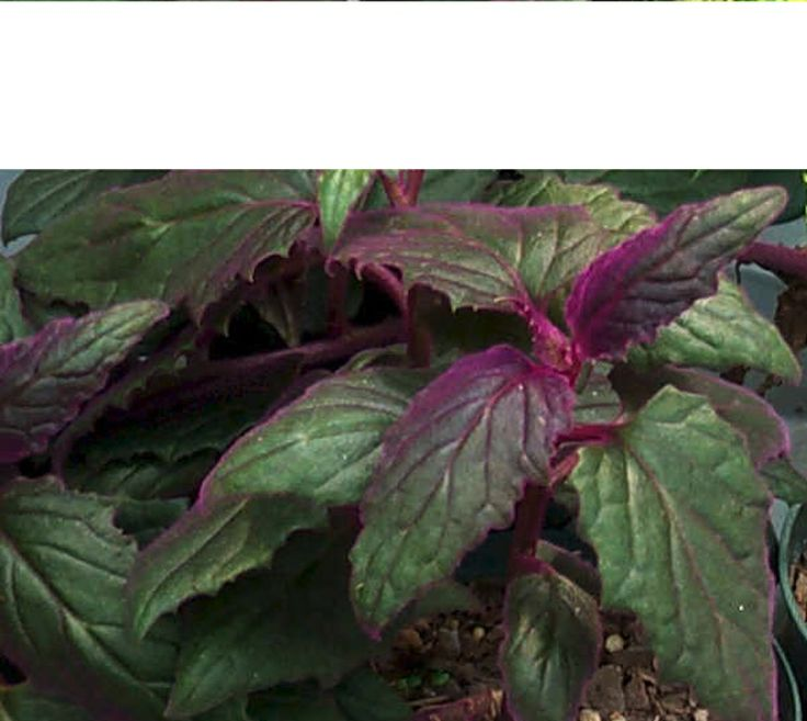 Purple Velvet #houseplants Have Green Leaves Covered In Velvety Purple  Hairs. Houseplant411.com