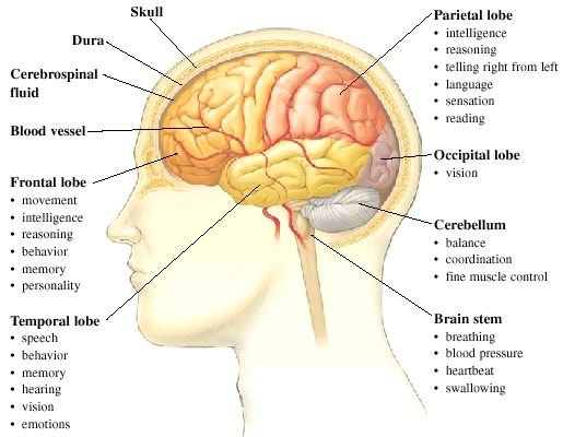 the 25+ best ideas about human brain parts on pinterest | brain, Muscles