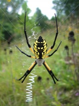 yellow argiope.......my favorite spider