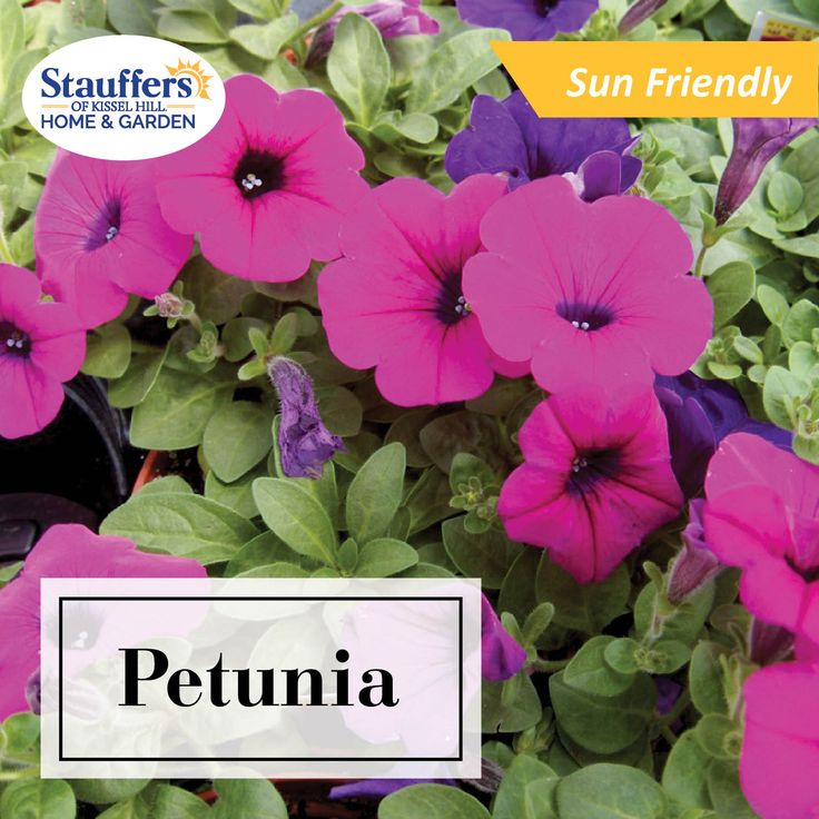 With so many varieties of Petunias, these flowers are the most popular flower to plant in your summer garden bed.
