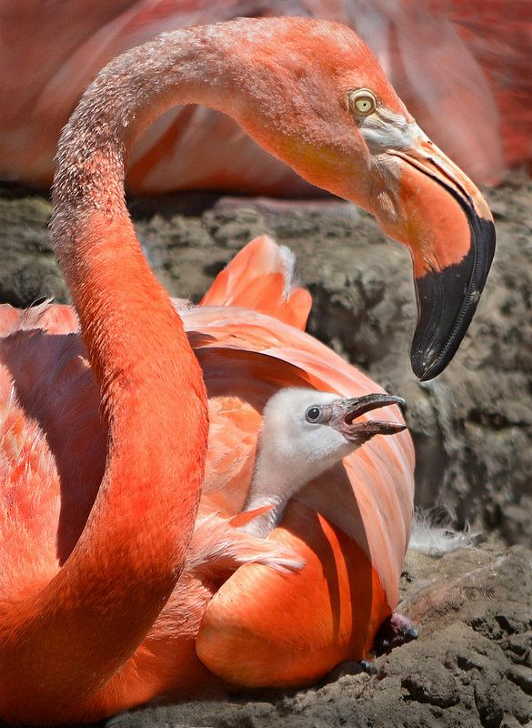 Our first #flamingo hatched in Front Street Lagoon. We were up to 17 eggs and keepers expect more chicks to arrive soon. Snack attack photo by Ion Moe.