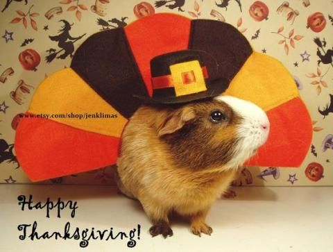 PetsLady's Pick: Cute Thanksgiving Guinea Pig Of The Day...see more at PetsLady.com -The FUN site for Animal Lovers