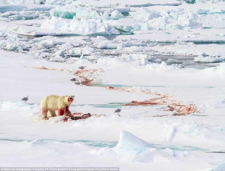 In this dramatic scene a young male polar bear guards his kill, a bearded seal in Svalbard