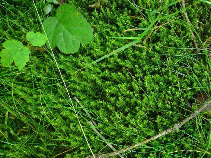Rhytidiadelphus squarrosus  - kostrbatec zelený