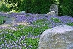 Replace Your Lawn with a Groundcover!