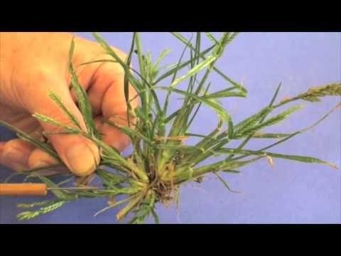 how to kill setaria grass