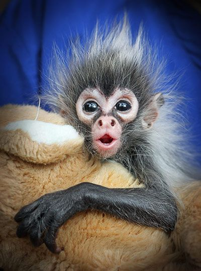 baby spider monkey; most species of spider monkeys - that live in the rainforests of South and Central America - are Endangered or Critically Endangered due to overhunting and habitat destruction.
