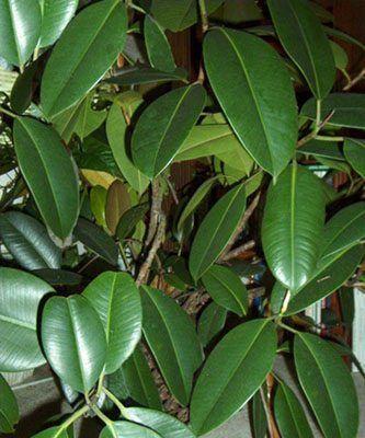 Ficus -Come curare e coltivare il nostro Ficus