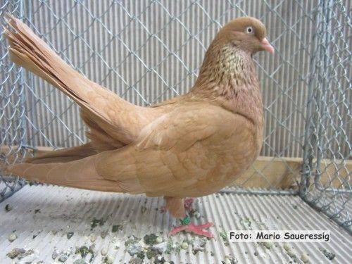 oriental roller pigeons 014