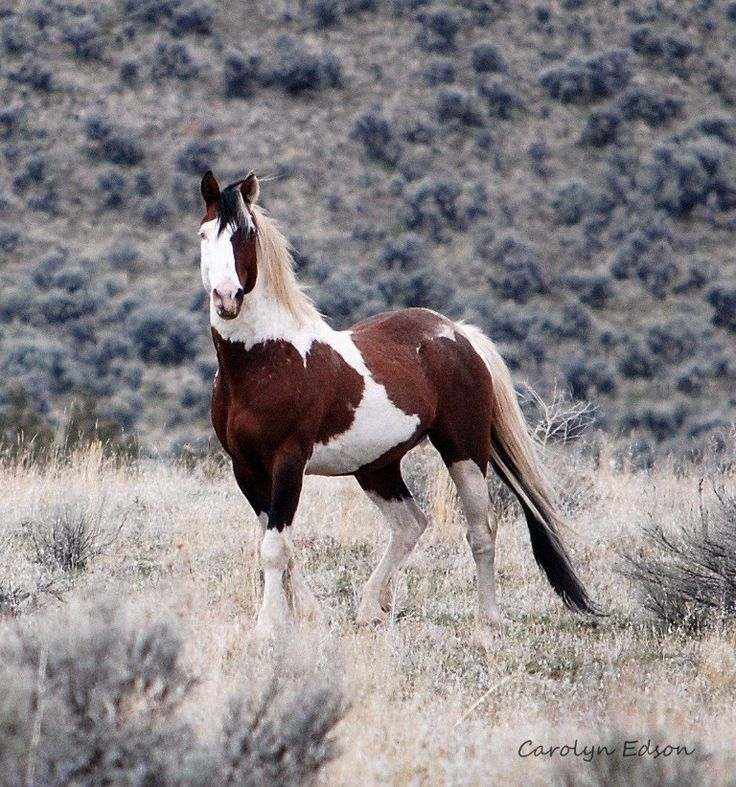 War Eagle - mustang of the South Steens, OR Wild horse stallion Étalon cheval sauvage