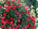 Double knockout rose-this thing tolerates shade, is bug and disease resistant and beyond easy care.