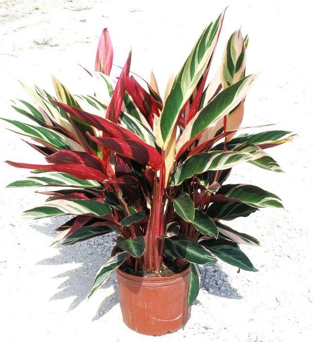 Stromanthe Aka Triostar Ginger Gardening Pinterest
