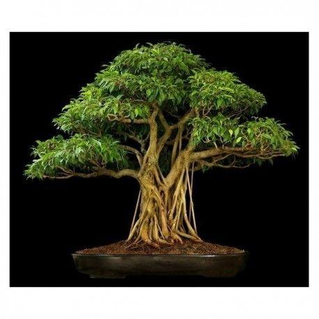 Buddha Baum - Pappel Feige Samen (Ficus religiosa) Preis für packung von 20 Samen. Die Pappel-Feige auch Buddhabaum, Bodhibaum, Bobaum