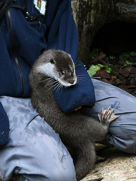 Otter gets in some cuddle time with human - November 18, 2016